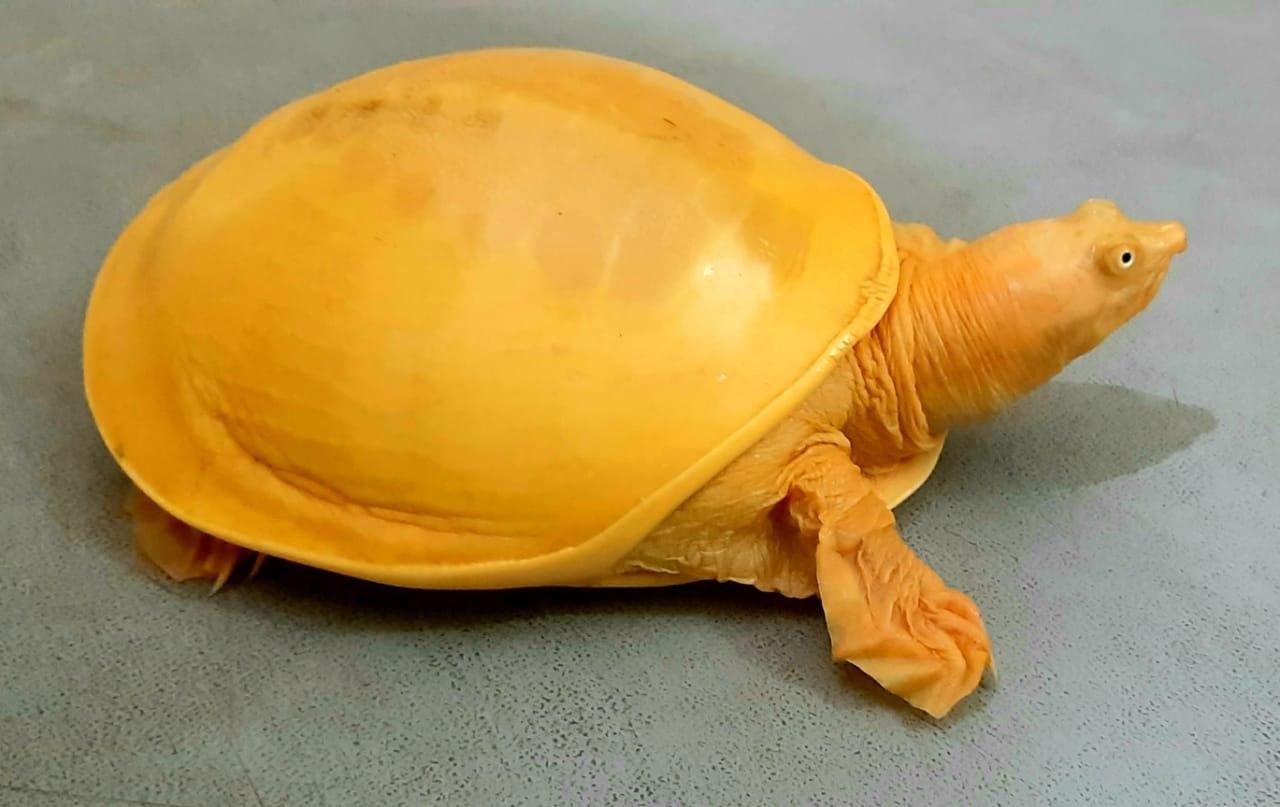 Golden Turtle- Aam Mat Photo