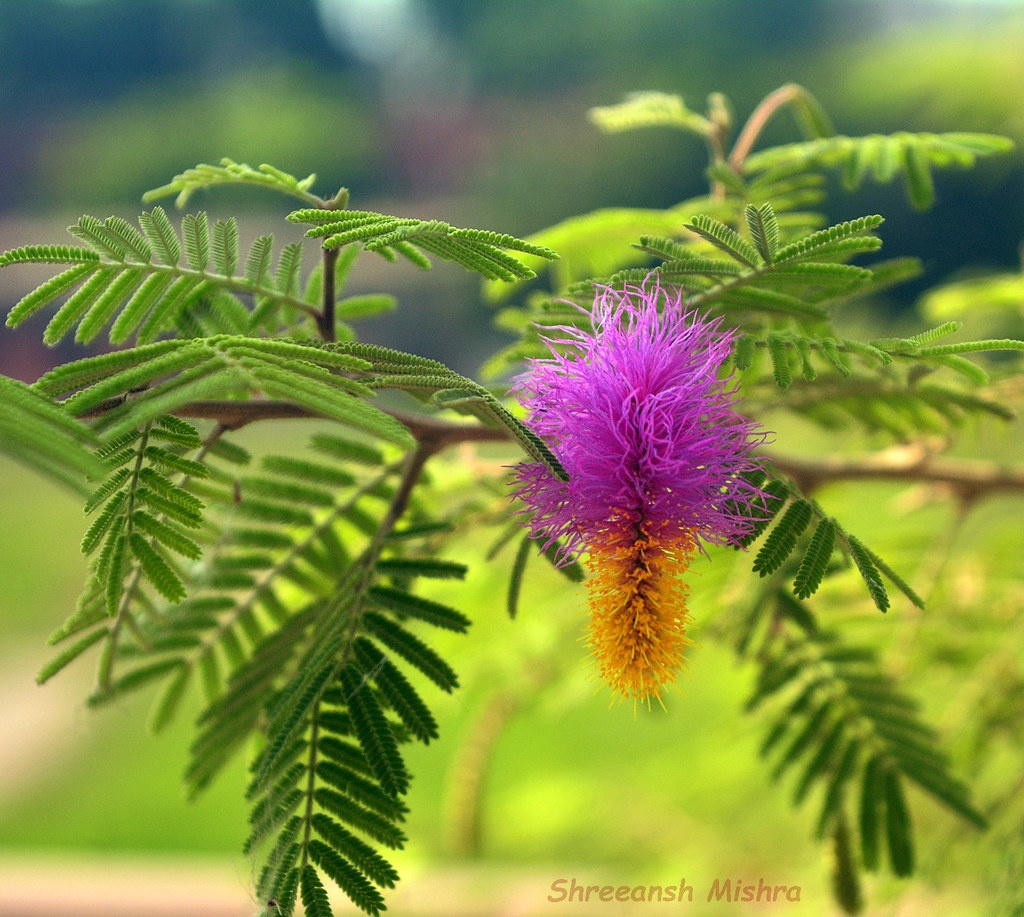 पौधे बनाए धनवान : शमी का पेड़