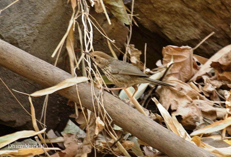 राजस्थानः उदयपुर में मिली नई प्रजाति की बैबलर चिड़िया