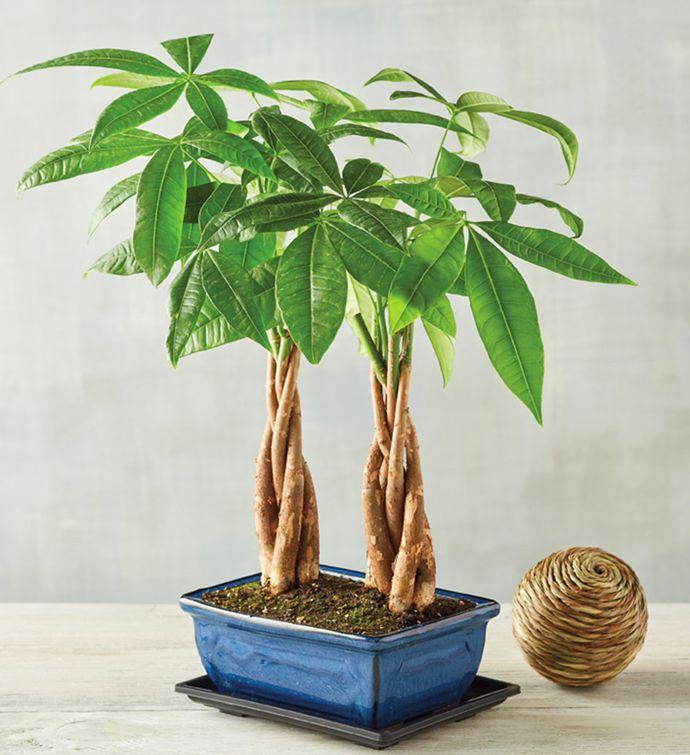 पौधे बनाए धनवान: मनी ट्री