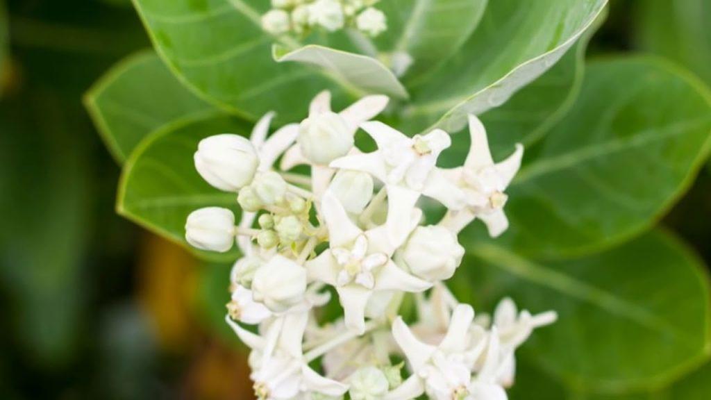 पौधे बनाए धनवान: श्वेतार्क या सफेद आकड़ा